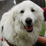 Aragon - Great Pyrenees