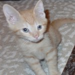 Eddy - Domestic Short Hair / Tabby