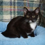 Jazzi - Domestic Short Hair