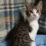 Julian - Domestic Short Hair