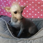Gizmo - Chinese Crested-Hairless