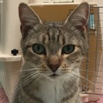 Greysee - Domestic Short Hair