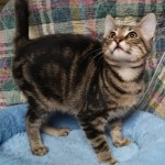 Delroy - Domestic Short Hair