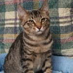 Denzel - Domestic Short Hair
