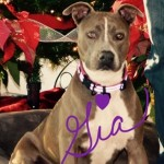 Gia - Pit Bull Terrier [Mix]