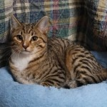 Evan - Domestic Short Hair