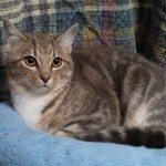 Emma - Domestic Short Hair