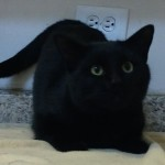 Liquorice - Domestic Short Hair