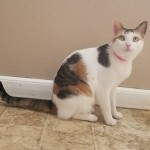 Lanette - Domestic Short Hair