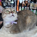 Angel - Domestic Short Hair