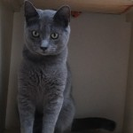 Gray - Domestic Short Hair