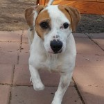 Benny - Jack Russell Terrier
