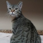 Tabby - Domestic Short Hair