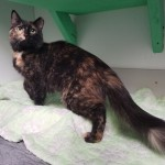 Amber - Domestic Short Hair