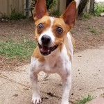 Peanut - Jack Russell Terrier [Mix]