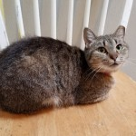Hope - Domestic Short Hair