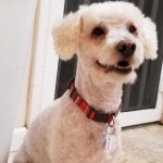 Angel - Poodle (Miniature)