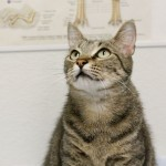 Eugenie - Tabby / Domestic Short Hair [Mix]