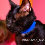 Minnow - Domestic Short Hair