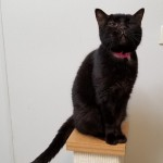Marina - Domestic Short Hair