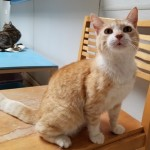Yasmin - Domestic Short Hair