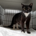 Daysha - Domestic Short Hair