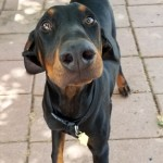 Gino - Doberman Pinscher [Mix]