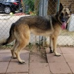 Chase - German Shepherd Dog [Mix]