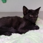 Keenon - Domestic Short Hair