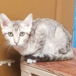 Calina - Domestic Short Hair