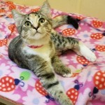 Jessica - Domestic Short Hair