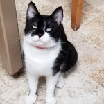 Emma - Domestic Short Hair / Domestic Short Hair