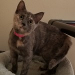 Cheyanne - Domestic Short Hair