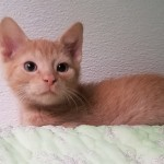 Sheldon - Domestic Short Hair