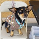 Sammy - Miniature Pinscher / Chihuahua [Mix]
