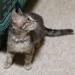 Marcy - Domestic Short Hair