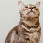 Patience - Domestic Short Hair / Dilute Tortoiseshell