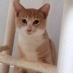 Eric - Domestic Short Hair