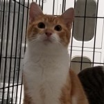 Kooper - Domestic Short Hair