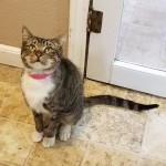 Myranda - Domestic Short Hair