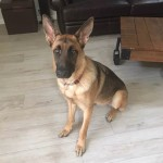 Luna - German Shepherd Dog