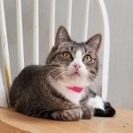 Susie - Domestic Short Hair