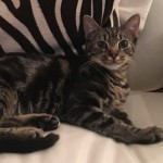 Ishmael - Domestic Short Hair