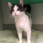 Ava - Domestic Short Hair / Domestic Short Hair