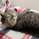 Tuffy - Domestic Short Hair