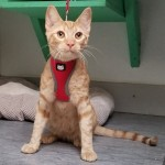 Danny Boy - Domestic Short Hair