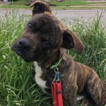 Stubs - Dachshund / Pit Bull Terrier [Mix]