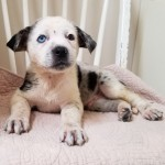 Tweety - Catahoula Leopard Dog / Australian Shepherd [Mix]