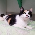 Calie - Domestic Short Hair