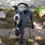 Blue - Pit Bull Terrier [Mix]